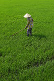 Worker in rice field Royalty Free Stock Image
