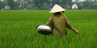 Worker in rice field Stock Photography