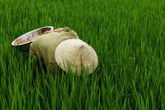 Worker in rice field Stock Photo