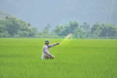 Worker in rice field Stock Photos