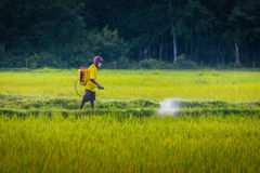 Worker in Rice Field. A farmer spraying insecticide in rice field Stock Photography