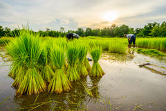 Worker in rice field Royalty Free Stock Images