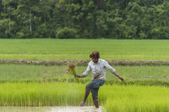 Worker in rice field Royalty Free Stock Photography