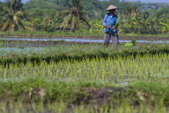 Worker at Rice Field Stock Photos
