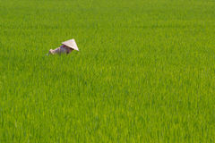 Worker in the Rice Field Vietnam Stock Photography