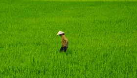 Worker of rice field stock photography