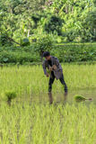 Worker in rice field. Workers in rice field between the mountains of Vang Vieng in Laos. Rice is the major food of Asian people. People are planting rice Stock Photo