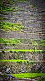 Worker in rice paddies at ifugao,batad 2. Resting Worker planting rice in the paddy fields at ifugao,batad,philippines Royalty Free Stock Image
