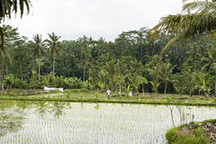 Worker in rice paddy Stock Photo