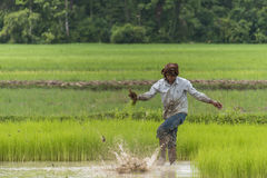 Worker in rice paddy Royalty Free Stock Image