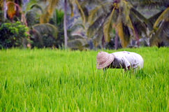 Worker in the Rice rice field Stock Images