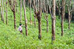 Worker in a rubber tree plantation in Thailand Stock Photo