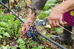 Worker's hands in motion during the vine harvesting. Merlot cluster with rotten grapes. Selective focus. Worker's hands in motion during the vine harvesting royalty free stock photos