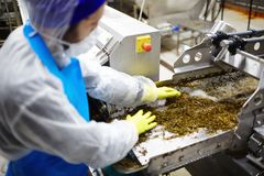 Preparation of seaweed. Worker of seafood plant mixing cooked seaweed salad on special grind Stock Photo