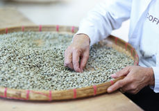 Worker select coffee berries seed broken by hand Stock Images