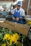 A worker seperating rose petals from damaged roses at the Hacienda La Compania Roses Plantation near Cayambe in Ecuador. Royalty Free Stock Images