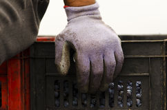 Worker sitting on a dirty crates with Merlot grapes during the vine harvesting in Bulgaria Royalty Free Stock Images