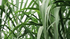 green leafs of sugarcane plants stock video footage