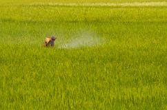 A worker spraying insecticides in rice field stock images