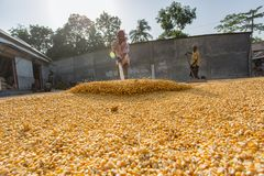 A Worker spread maize crop for drying. Maize in Bangladesh at most Third important cereal after rice and wheat. New crop: 3100 ha in 1900, 10000 ha in 1995 Stock Photography