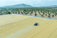 Bulgur wheat processing in Gaziantep,Turkey. Worker spreads bulgur wheat on a field with conventional techniques for drying under the sun in Gaziantep,Turkey.03 stock photography