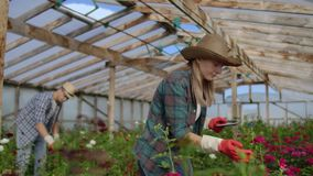 Worker with tablet near rose in greenhouse. Two Beautiful young smiling girl and man, worker with tablet near rose in stock footage