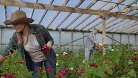 Worker with tablet near rose in greenhouse. Two Beautiful young smiling girl and man, worker with tablet near rose in stock video