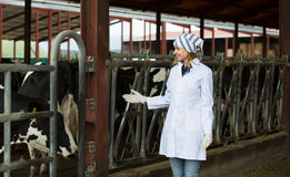 Worker taking care of dairy herd Royalty Free Stock Photos