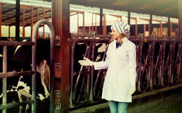 Free Worker Taking Care Of Dairy Herd Royalty Free Stock Photo - 88584325