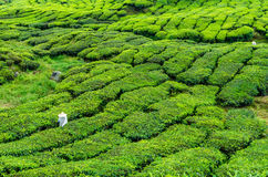 Worker on the tea plantation Royalty Free Stock Image