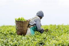 Worker at a tea plantation. KINIHIRA, RWANDA- NOVEMBER 9: unidentified worker at a tea plantation on November 9, 2013. Tea is export item of Rwanda Stock Photo