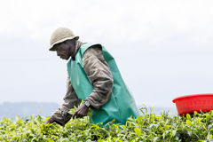 Worker at a tea plantation Stock Photo