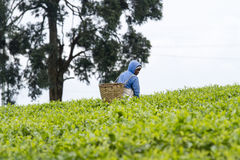 Worker at a tea plantation Royalty Free Stock Images