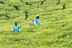 Worker at a tea plantation Royalty Free Stock Image