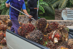 Worker throw oil palm fruit branch out of the truck Royalty Free Stock Photo