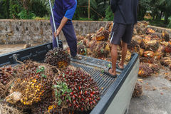 Worker throw oil palm fruit branch out of the truck Royalty Free Stock Images