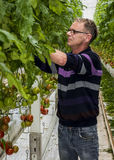 Worker in Tomato Nursery Greenhouse Stock Image