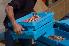 Worker with trays of fish. Body of fisherman carrying trays of fresh fish in Palamos port, Girona, Catalonia, Spain Stock Photo