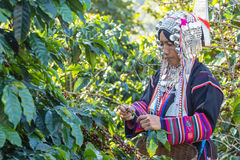 Worker tribal dress were harvesting ripe coffee bean Royalty Free Stock Image