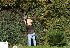Worker Trimming A Large Hedge Stock Image