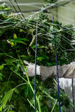 Worker trimming marijuana plants Stock Image