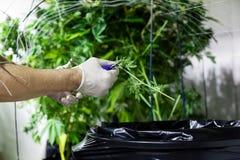 Worker trimming marijuana Royalty Free Stock Photo