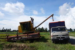 Worker uses machine to harvest rice on paddy field Royalty Free Stock Image