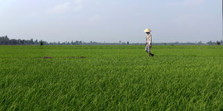 Worker walking in rice field. In delta Mekong ,Vietnam Royalty Free Stock Image