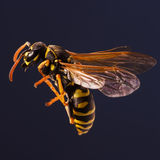 Worker Wasp Royalty Free Stock Photo