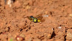 Worker wasp, Vespula germanica Royalty Free Stock Image