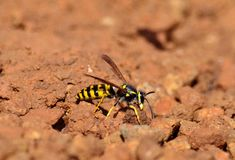 Worker wasp, Vespula germanica Royalty Free Stock Photography