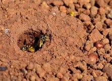 Worker wasps, Vespula germanica Royalty Free Stock Image