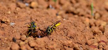 Worker wasps, Vespula germanica Stock Photography