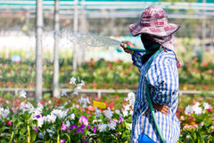 A Worker Watering Orchid Flowers. Royalty Free Stock Photography